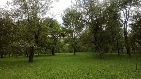 Primele livezi din Pomăria Bădăcin, cele ale bunicilor și ale părinților