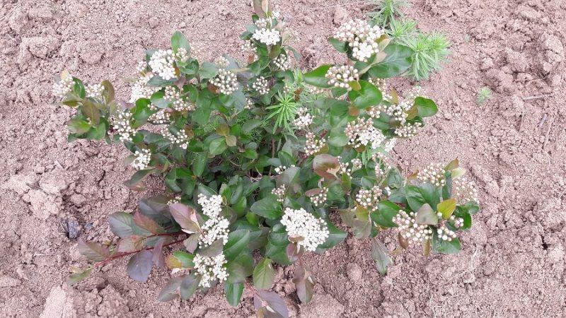 Sana plant extract, plantatie lavanda, mur, soc si aronia, sucuri naturale (3)