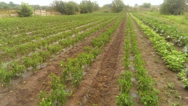 Tomatina, cooperativa agricola din judetul Ilfov gradina cu aplicatie livrare mancare, comanda mancare Bucuresti sau livrare mancare Bucuresti (1)