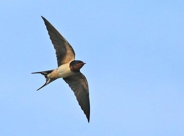 A Swallow in flight