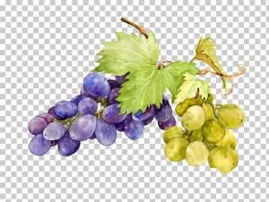 grape-watercolor-painting-sweetness-grape-picture-material