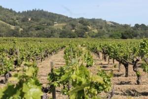 Vines in Sonoma