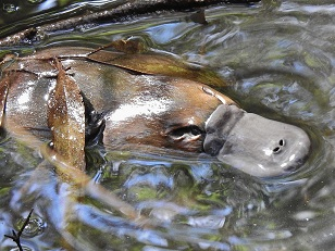 Platypus 11.4.16 Tidbinbilla River (Photo John Bundock) 10%