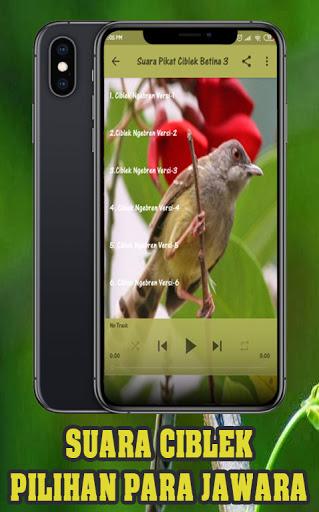 Suara Ciblek Betina Pemikat : suara, ciblek, betina, pemikat, Download, Suara, Burung, Ciblek, Betina