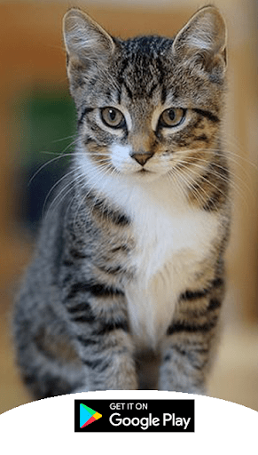 Download Suara Kucing : download, suara, kucing, Download, Suara, Kucing, Android, STEPrimo.com