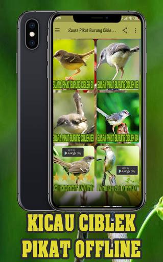Suara Pikat Ciblek : suara, pikat, ciblek, Download, Suara, Pikat, Burung, Ciblek, Betina, Offline, Android, STEPrimo.com