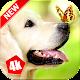 Labrador Retriever Wallpaper – Dog Wallpaper for PC