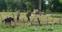Rice Harvest north of Rivas