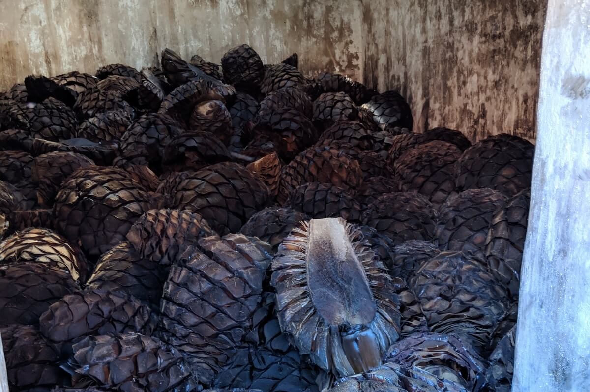 Cooked agave for tequila
