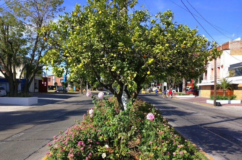 Orange trees and roses line the streets in Chapalita