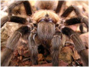 playdate big hairy spiders