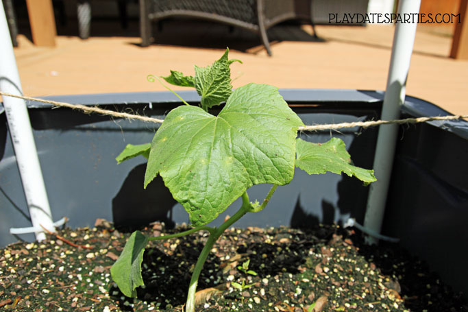A young cucumber plant growing in a DIY self watering planter