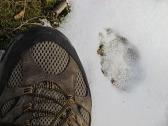 Coyote Track on Buhl Lake Trail