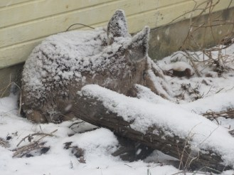 A fawn fell asleep during a light snowfall.