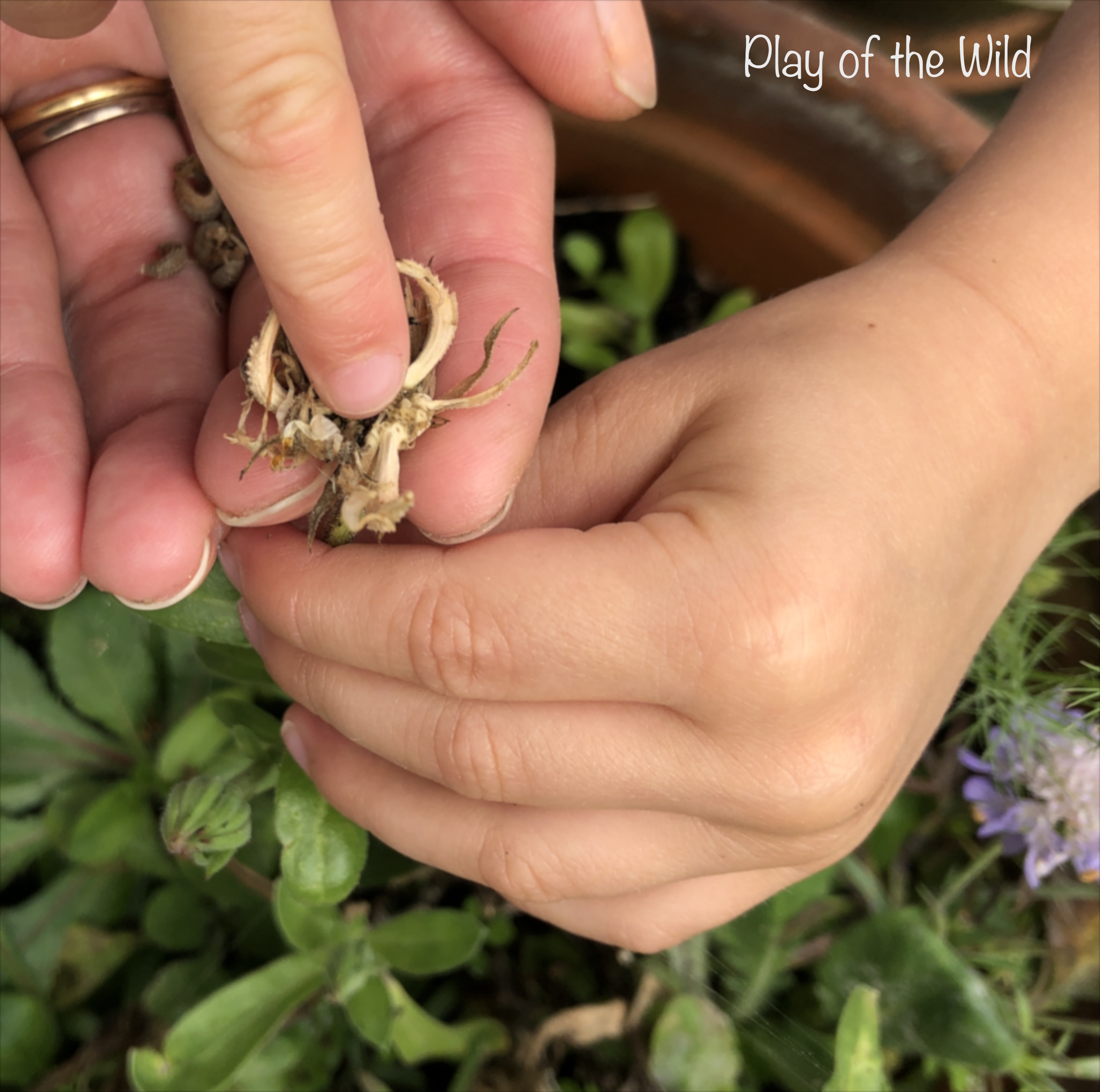 Collecting Calendula seeds with kids.