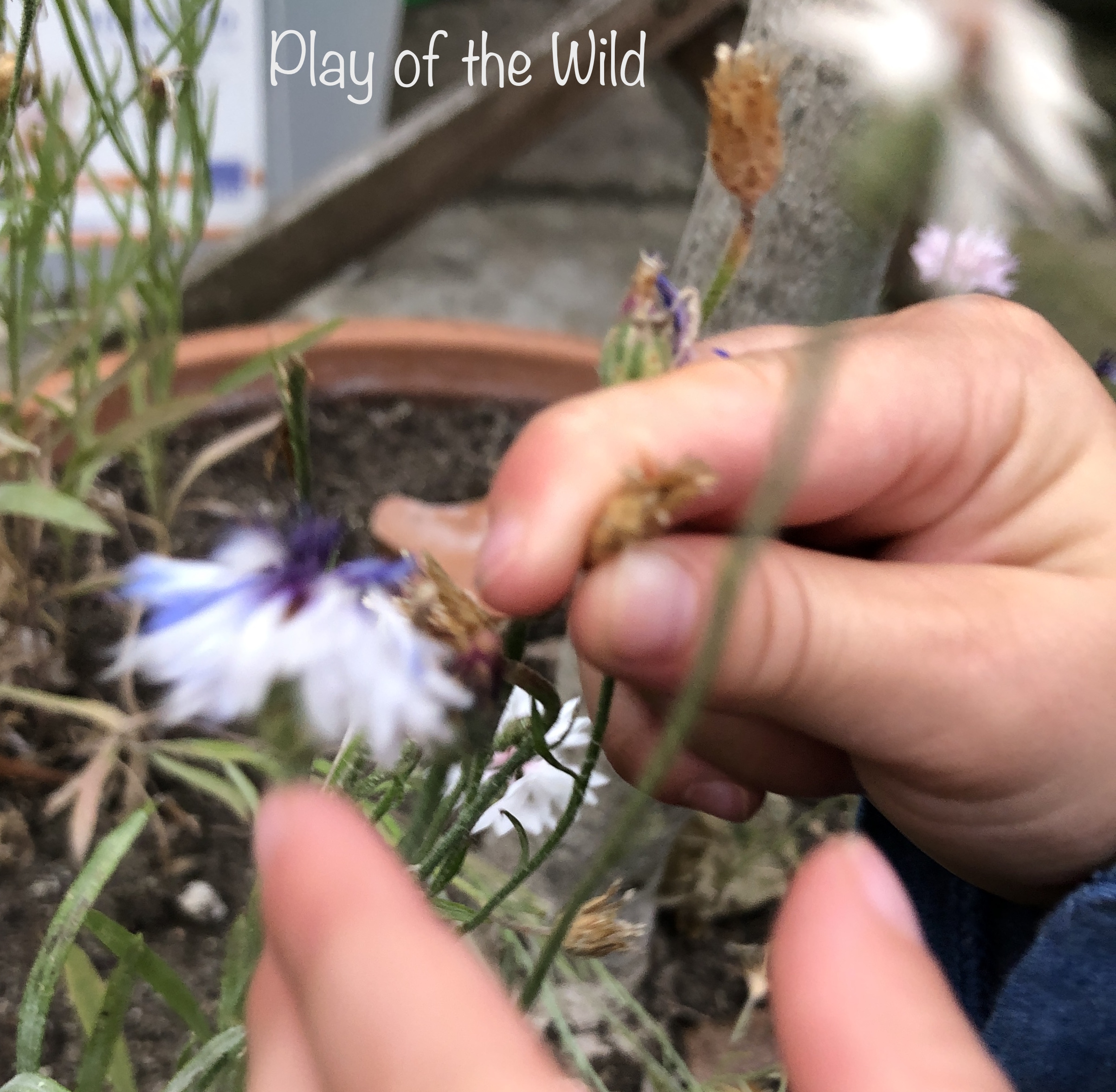 Child collecting cornflower seeds. Teaching kids about gardening.