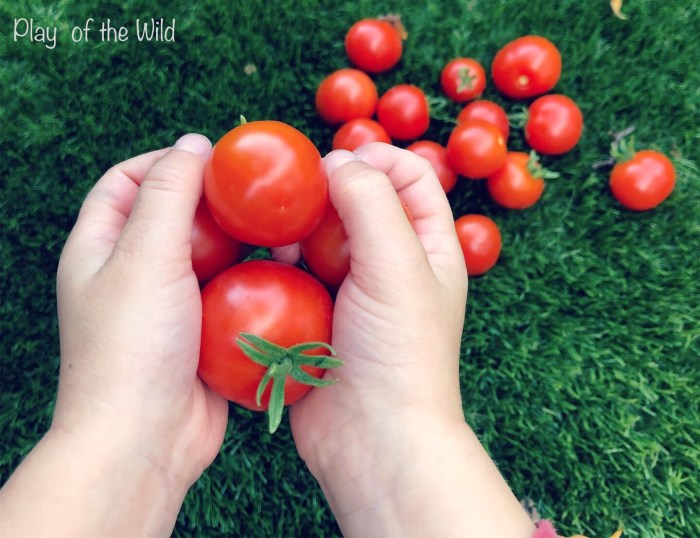 Growing Tomatoes with Children