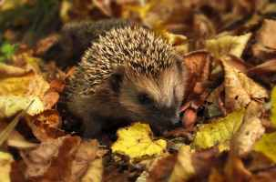 autumn songs for early years - hedgehog