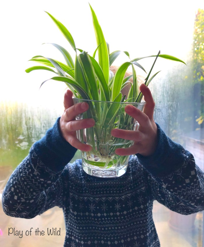Propagating Plants in Water.  Growing spider plants with children.
