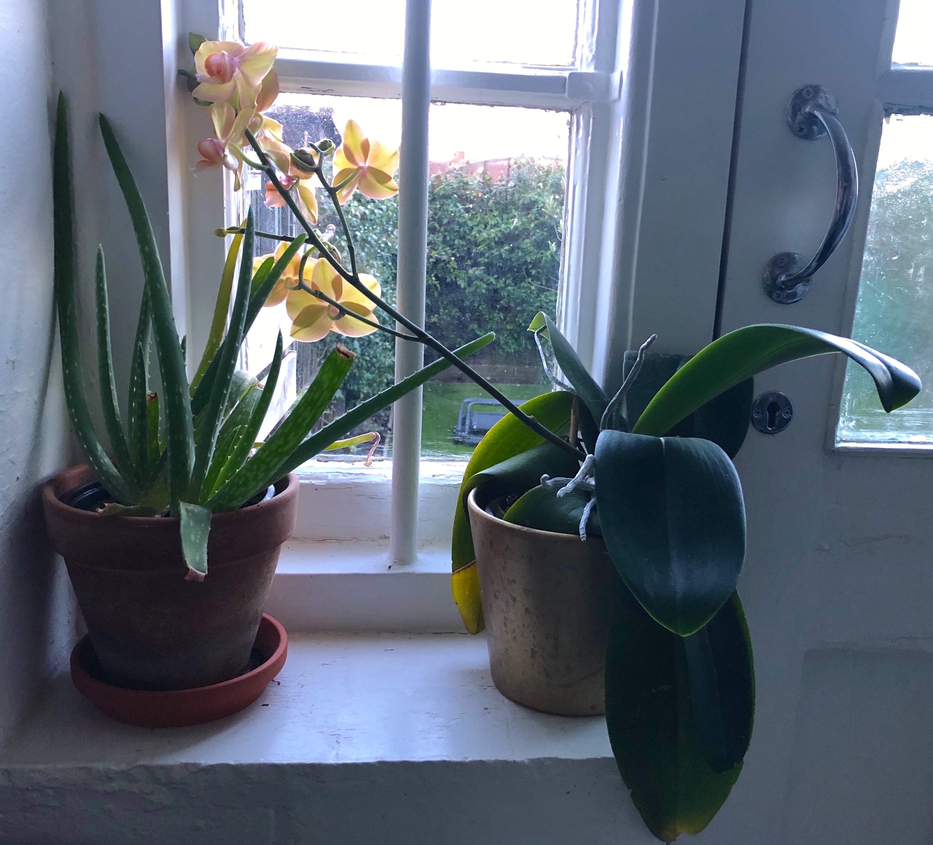 Quick Growing Indoor Plants for Home or Classroom. orchid and aloe plants.