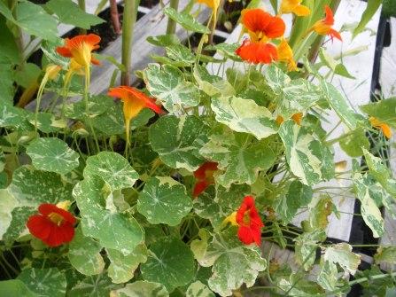 Nasturtiums next to my squash plants