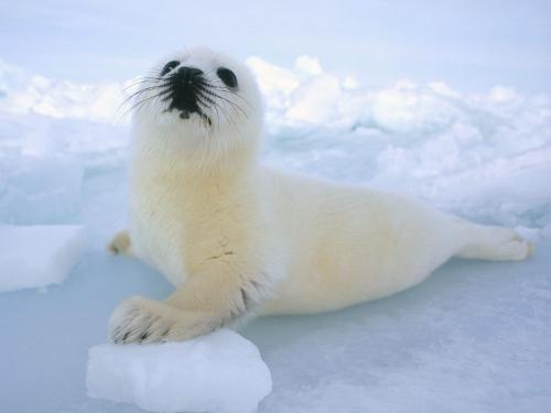 foca-blanca1