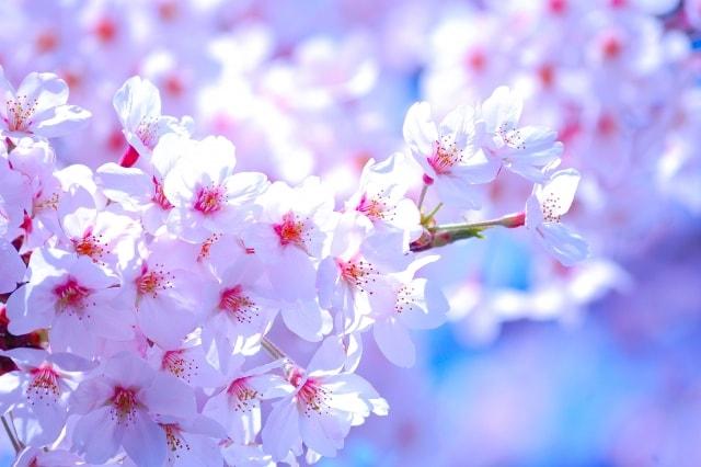 静内桜まつり2018日程と屋台の時間!駐車場もチェック