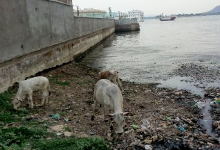 Common image of garbage and cows. Sometimes the cows eating the garbage