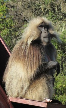 "A Gelada monkey or ""Baboon"" as they are called"