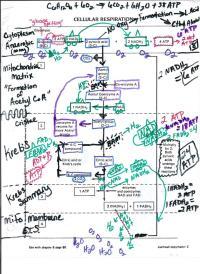 Printables. Cellular Respiration Diagram Worksheet. Mywcct ...