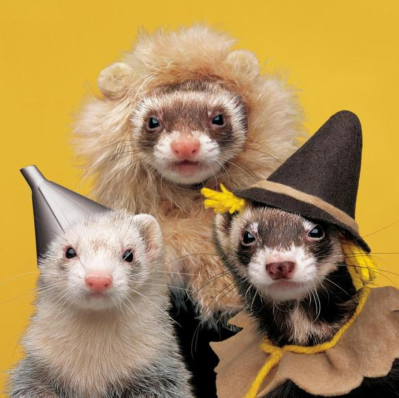 Your Cute Wallpaper An Ode To The Ferret 24 Pics