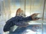 ウルトラスカーレットトリムプレコの特徴と飼育方法を紹介