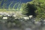 ミナミヌマエビを飼育するには餌は何がいいのかを紹介!!
