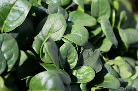 spinach bioavailability