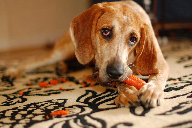 vegan dog eating carrots