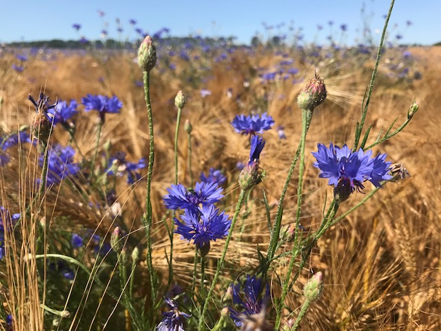 Weeds attract beneficial insects