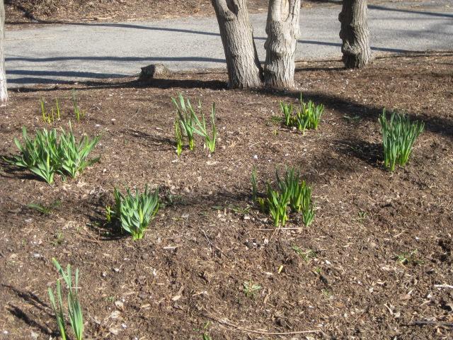 2009_04_11_daffodils