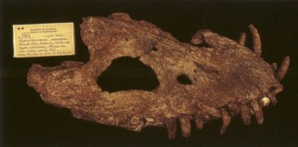 Skull of Hydrotherosaurus