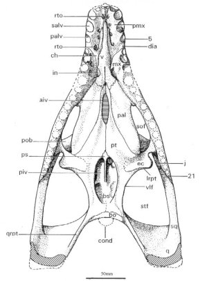 Skull of Leptocleidus capensis in ventral view (from Cruickshank, 1997)