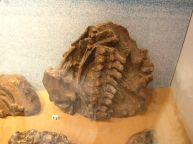Referred Leptocleidus material on display in the Dinosaur Isle Museum, Isle of Wight, UK.