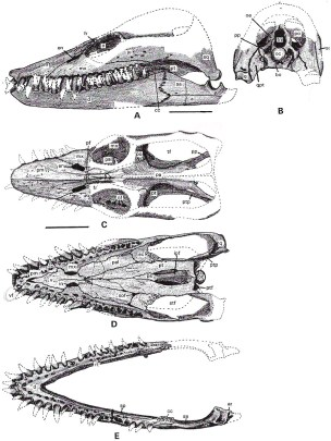 Skull of Libonectes. Modified from Carpenter (1997).