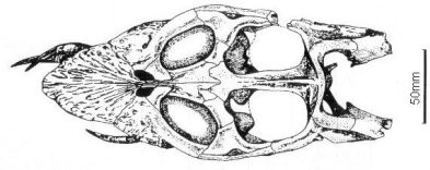Skull of Occitanosaurus in dorsal view. From Bardet et al. (1999).