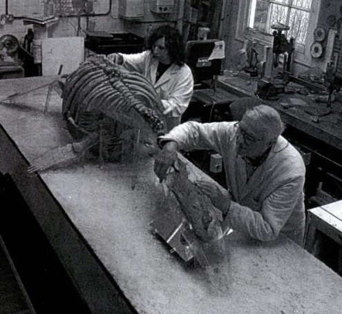 Pachycostasaurus skeleton in preparation (from Dawn, 1997)
