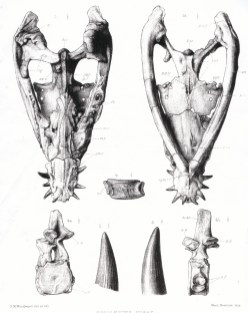 Skull of Simolestes in dorsal and ventral view, a cervical vertebra in various views, and a tooth. From Andrews (1913).
