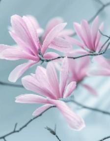 Millefiori Magnolia Blossom & Wood