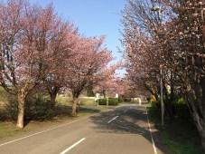 厚別南公園の桜