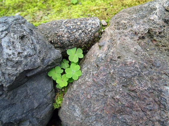 Three leaf clover leaves hidden among rocks along Shirakawa, Kyoto