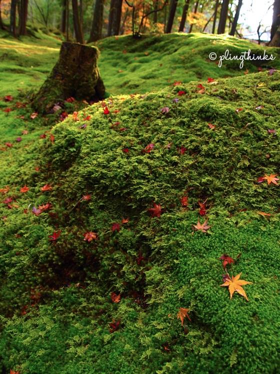 Japanese Maple on Moss - Saihoji Kyoto Japan