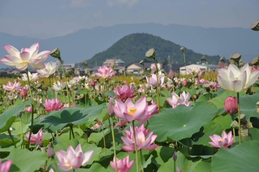 Fujiwara Palace Ruins Nara Kashihara City - Lotus in Summer