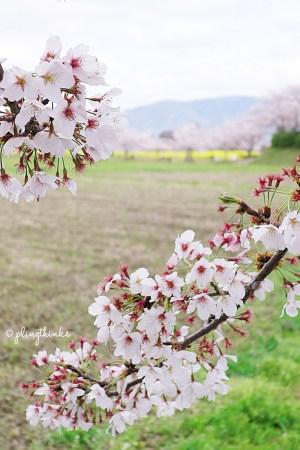 Fujiwara Palace Ruins Nara - Close Up of Cherry Blossoms